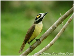 great-keskadee-fly-catcher-costa-rica