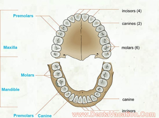 Dental Arch for Adults
