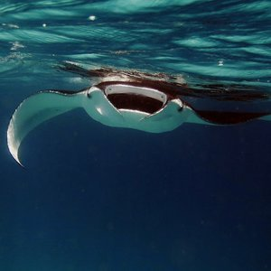 Manta Ray | Dental Tourism in Cost Rica